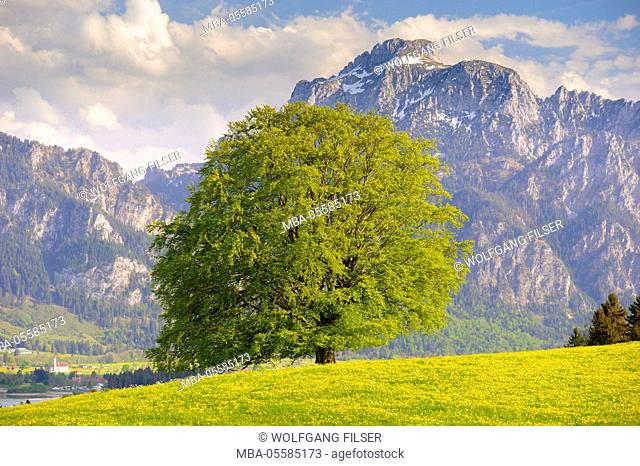 Big old beech on spring meadow in front of the mountain Säuling, Hausberg of Füssen in the Allgäu