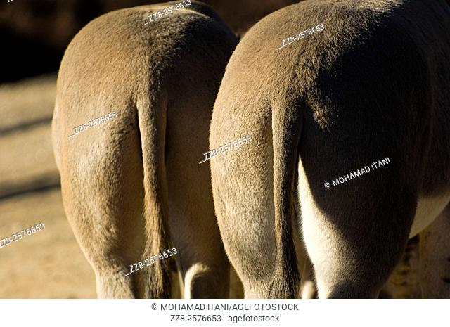 Rear view of two Somali Wild Asses