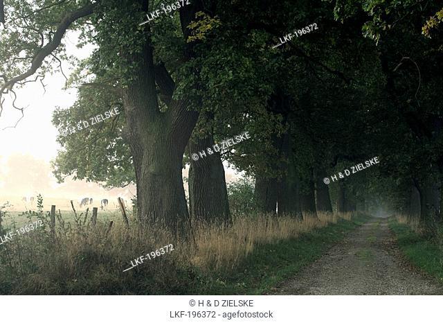 Deserted oak alley at Reinhardswald, Domain Beberbeck, Hesse, Germany, Europe