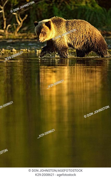 Grizzly bear (Ursus arctos)- Yearling (second-year) cub on shore of a salmon river during the autumn spawning season, Chilcotin Wilderness, BC Interior, Canada