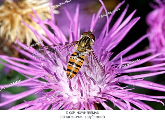 Episyrphus balteatus, Hoverfly