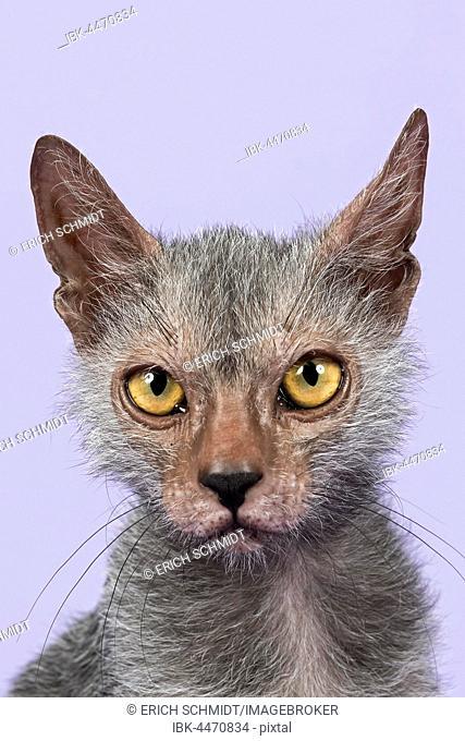 Werewolf Cat or Lykoi Cat (Felis silvestris catus), kitten, 6 months, portrait