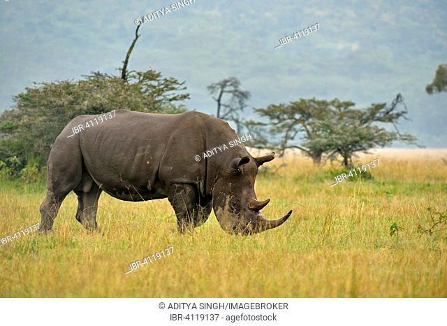White Rhino or Square-lipped Rhinoceros (Ceratotherium simum), Lake Nakuru National Park, Kenya