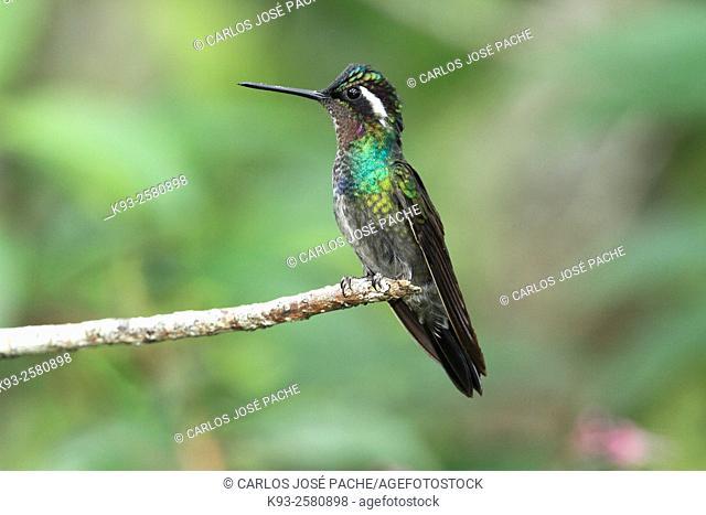 Purple-throated mountaingem (Lampornis calolaemus). Monteverde, Costa Rica