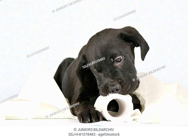 Mixed-breed dog. Puppy (3 month old male) playing with a roll of toilet paper. Studio picture against a white background. Germany