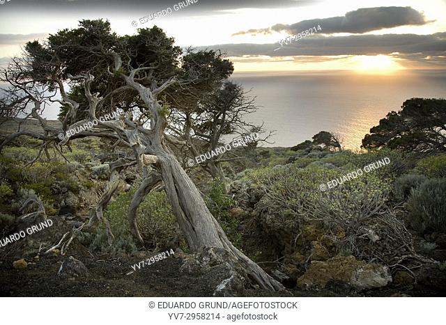 The famous 'Sabinas' twisted by the trade winds, living iconographies of the island. El Hierro, Canary Islands, Spain