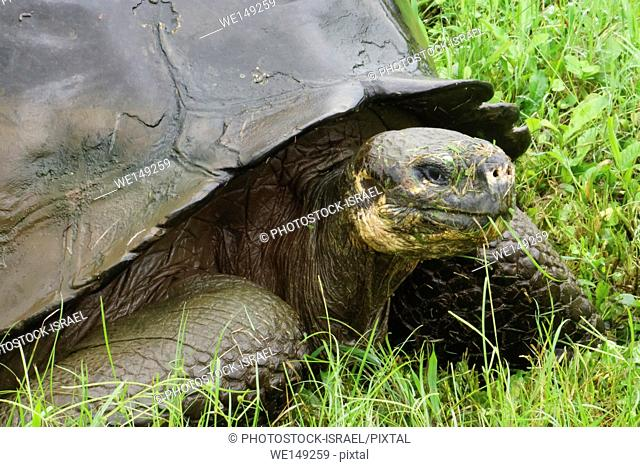 Galapagos giant tortoise. The Galapagos giant tortoise (Chelonoidis nigra) is the largest living species of tortoise, reaching a weight of over 400kg and a...