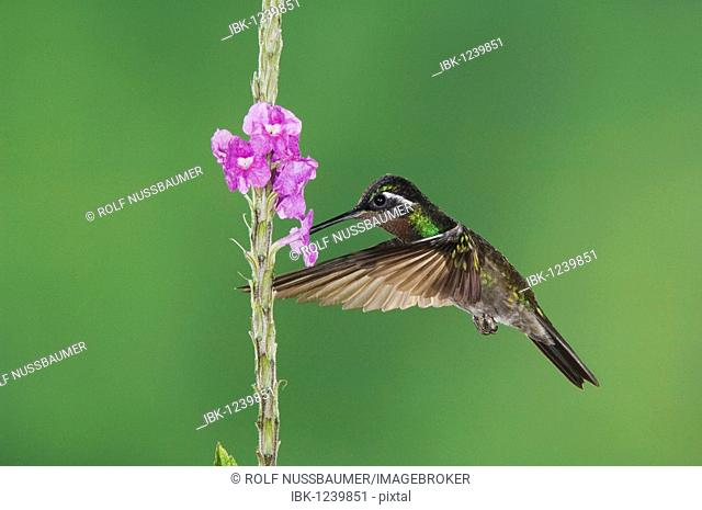 Purple-throated Mountain-gem (Lampornis calolaema), male in flight feeding on Porterweed (Stachytarpheta), Central Valley, Costa Rica, Central America