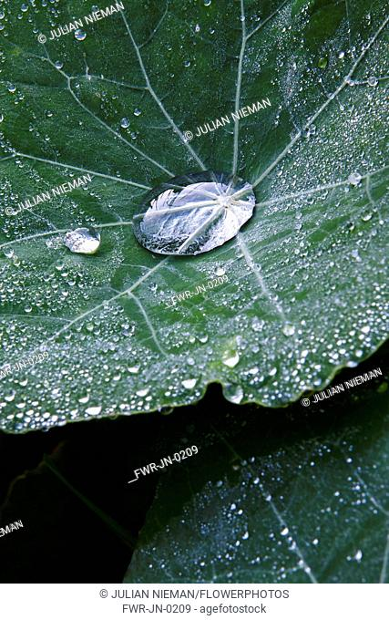 Nasturtium, a Tropaeolum majus cultivar, Close view of two leaves with droplets, one large droplet in the centre