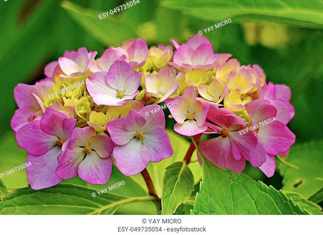 Beautiful small petals of pink flowers with yellow center and green leaves