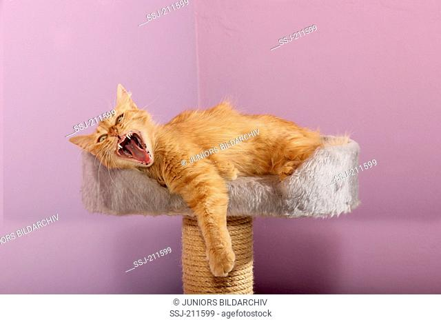Domestic cat. Red-tabby juvenile (11 month old) lying on a scratching post while yawning. Spain