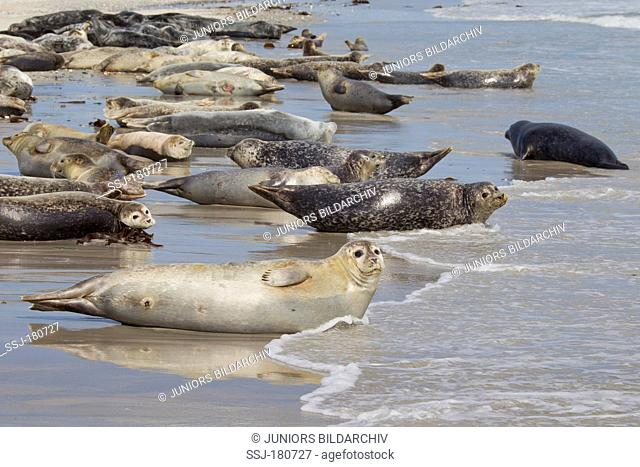 Common Seal, Harbour Seal (Phoca vitulina vitulina). Large group resting on a beach of the duene, Helgoland, North Sea, Germany