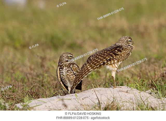 Burrowing Owls Athene cunicularia, wing stretching