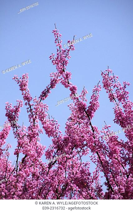 redbud branches reaching upward and crossing against blue sky, Monroe County, IN