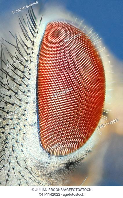 Extreme closeup of a fly's eye, side view  Common house fly, musca domestica
