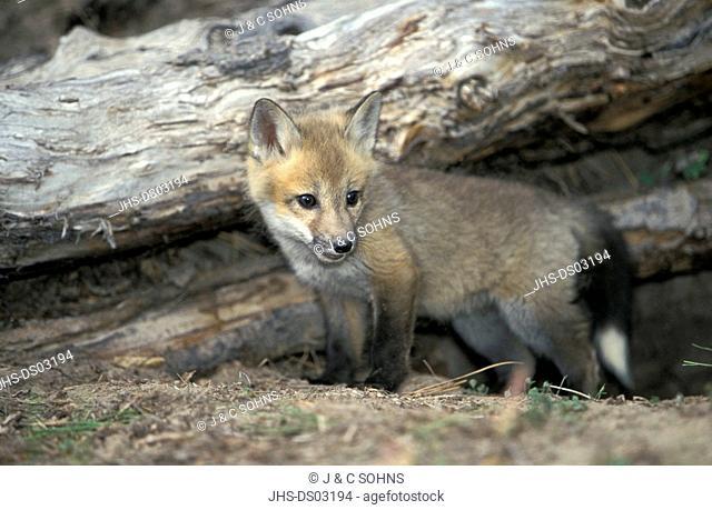 American Red Fox,Vulpus fulva,Montana,USA,young at dern