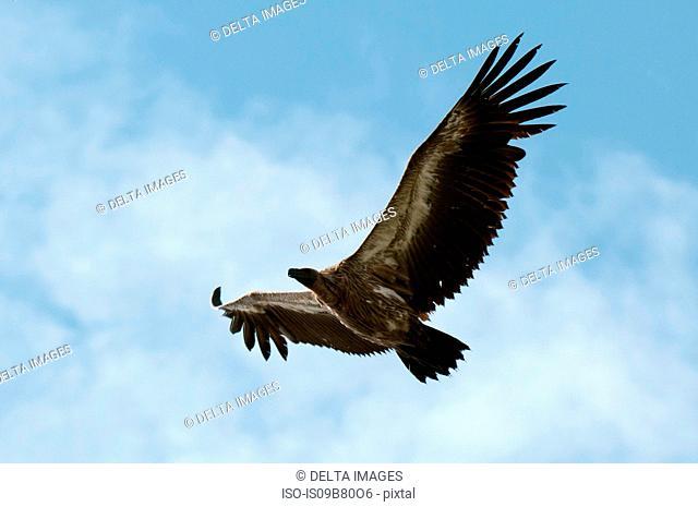 Vulture in flight, Masai Mara, Kenya