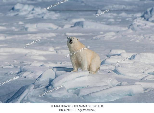 Polar bear (Ursus maritimus) on ice, Spitsbergen, Norway