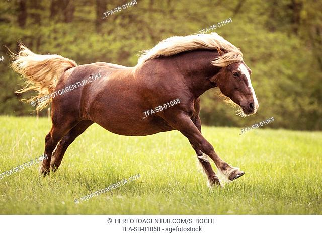 galloping Black Forest Horse