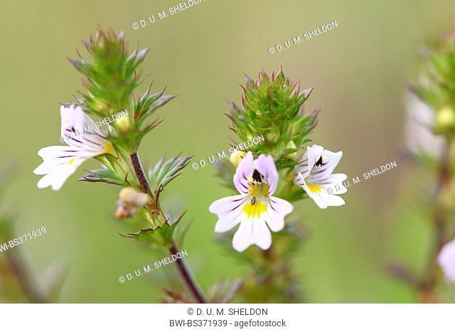 Eyebright, Eyewort (Euphrasia officinalis subsp. rostkoviana, Euphrasia rostkoviana), flowers, Germany, Bavaria