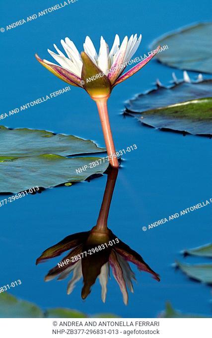 Water Lily, Family Nymphaeaceae, Chobe River, Chobe National Park, Botswana