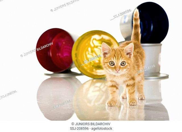 Domestic cat. Red-tabby kitten in front of paint pots. Studio picture against a white background. Germany