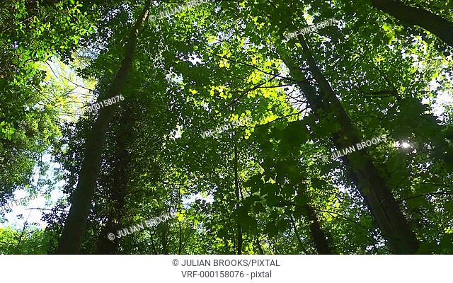 looking up at a deciduous forest, pan right, sunlight, dappled shade