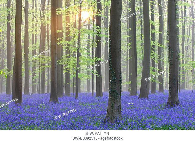 Atlantic bluebell (Hyacinthoides non-scripta, Endymion non-scriptus, Scilla non-scripta), sea of flowers in the forest, Belgium, Hallerbos
