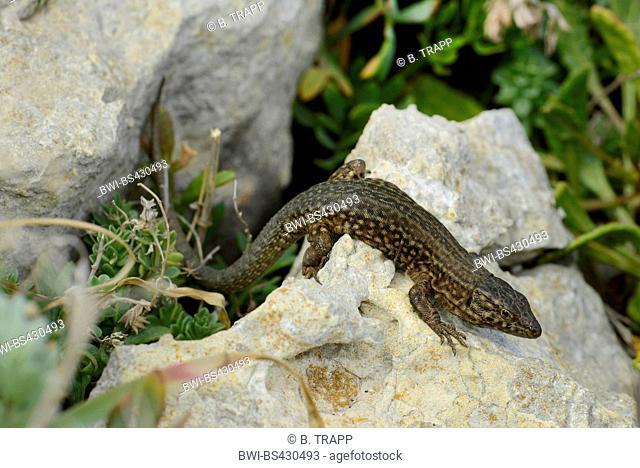 Lilford's wall lizard, Lilfords wall lizard (Podarcis lilfordi codrellensis, Podarcis codrellensis), sitting on a rock, Spain, Balearen, Menorca