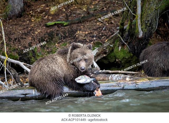 Grizzly bear (Ursus arctos horribilis), cub of the year, eating sockeye salmon (Oncorhynchus nerka), Central Interior, British Columbia, Canada