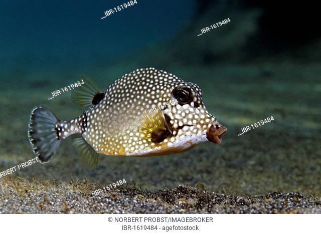 Smooth Trunkfish (Lactophrys triqueter), swimming above sandy bottom, Saint Lucia, St. Lucia, Insel, Inseln unter dem Wind, Kleine Antillen, Karibik