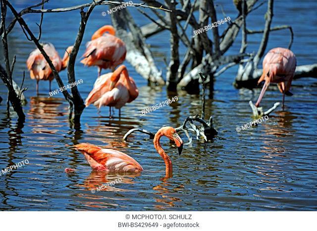 Greater flamingo, American flamingo, Caribbean Flamingo (Phoenicopterus ruber ruber), in water, Ecuador, Galapagos Islands, Isabela