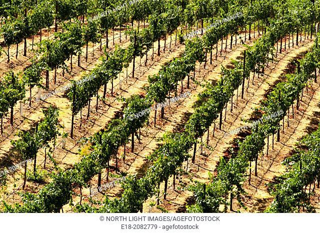 USA, California, Healdsburg. Vineyards in the Sonoma Valley