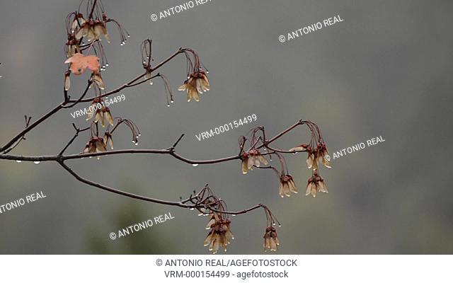Maple. Pyrenees. Huesca province