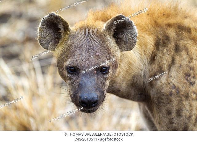 Spotted Hyaena (Crocuta crocuta) - Kruger National Park, South Africa