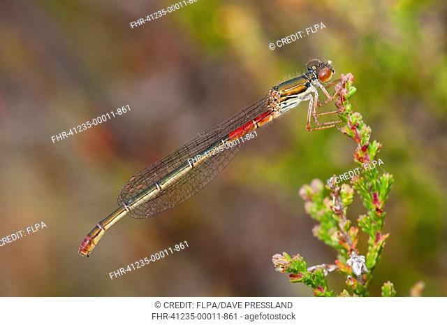 Small Red Damselfly (Ceriagrion tenellum) adult female, resting on heather, Thursley Common National Nature Reserve, Surrey, England, July