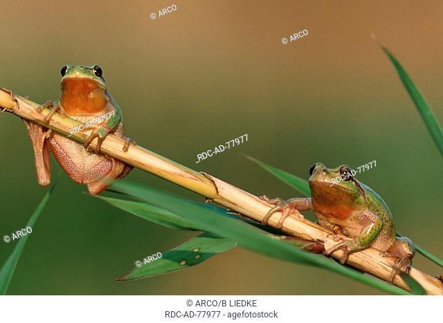 Stripeless Tree Frogs Southern France Hyla meridionalis