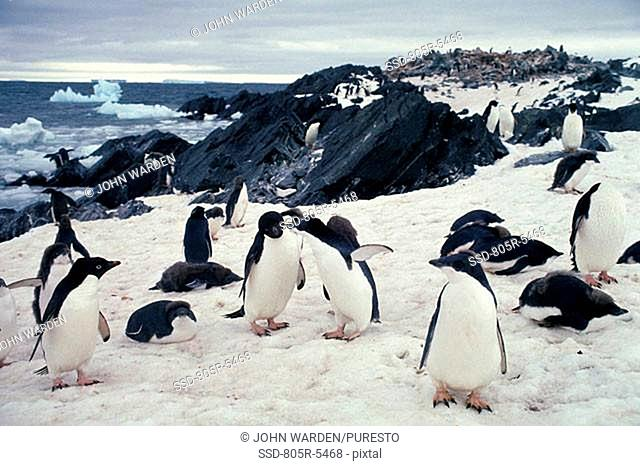 Group of Adelie Penguins on snow, Antarctica Pygoscelis adeliae