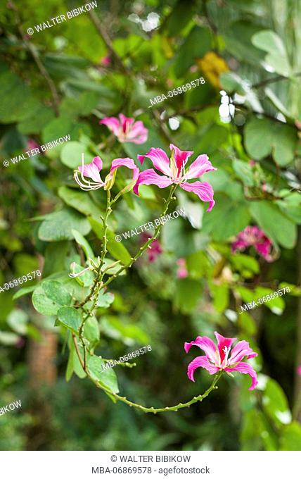 St. Kitts and Nevis, St. Kitts, Molineux, tropical flowers