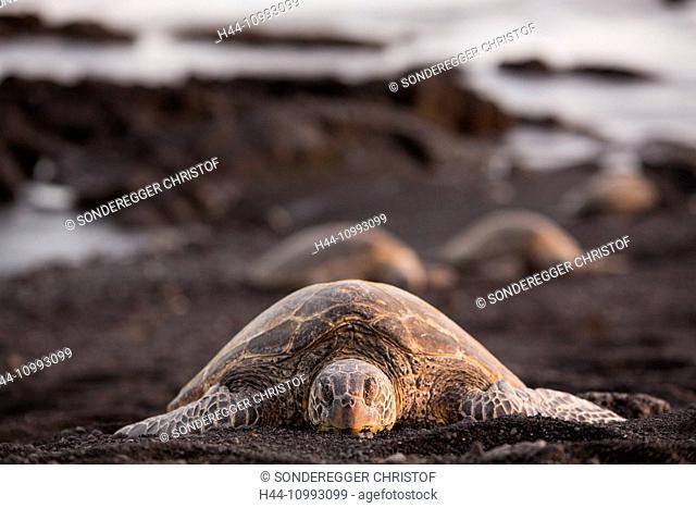 Big Island, tortoise, Punaluu, Black sand Beach, Big Island, USA, Hawaii, America, animals, animal, Volcanical, lava