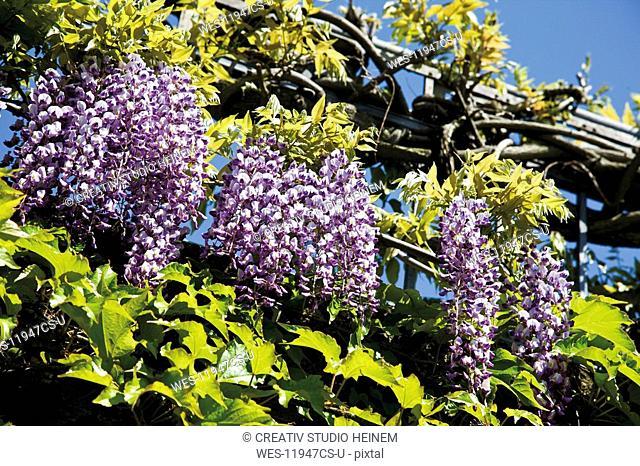 Germany, Rhineland-Palatinate, Bernkastel-Kues, Chinese wisteria Wisteria sinensis in bloom, close-up