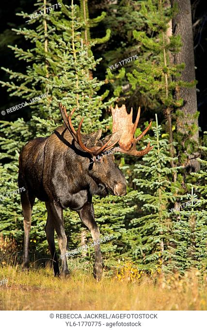 A bull moose Alces alces stands at the edge of a meadow in Jasper National Park, Alberta, Canada