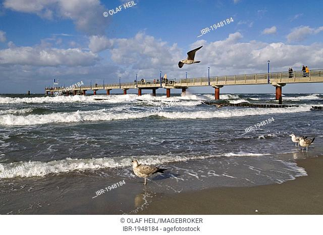 Young European herring gulls (Larus argentatus) in front of the pier of the Baltic sea spa town of Zingst, Mecklenburg-Western Pomerania, Germany, Europe