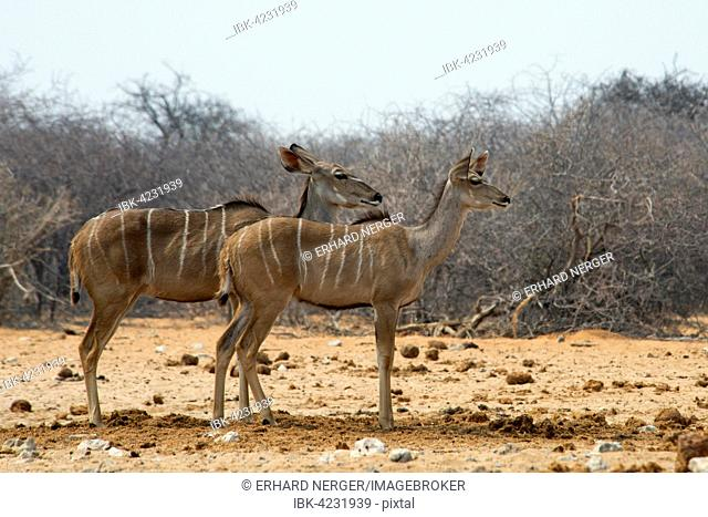 Greater kudu (Tragelaphus strepsiceros), females, alert, Etosha National Park, Namibia