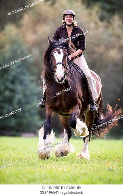 Shire Horse. Bay mare with woman rider galloping on a pasture. Germany