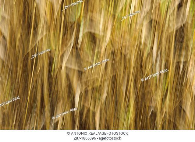 Reed (Arundo donax), Cantera de Sugel, Almansa, Albacete