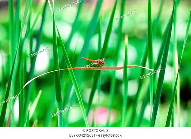 Spangled Skimmer Dragonfly (Libellula cyanea) resting on a leaf beside a lake