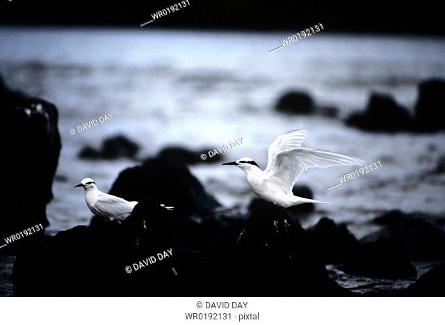 Black naped terns on black shore rocks, Palau Sterna sumatrana Palau Belau, Pacific Ocean