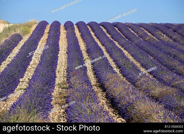 France, Alpes de Haute Provence (04), plateau de Valensole, lavender fields (Lavandula sp. )