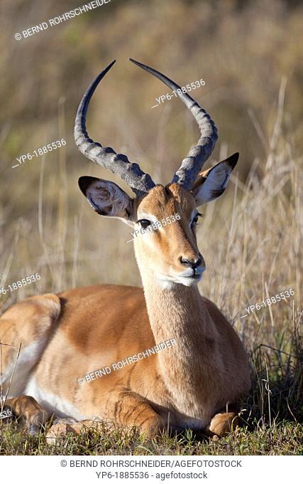 male Impala Aepyceros melampus lying in savannah, Serengeti National Park, Tanzania